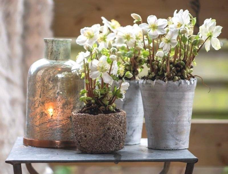 Ciemierniki – grudniowe kwiaty do domu i... ogrodu!